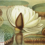 Victoria Regia or the Great Water Lily of America (Opening Flower) by William Sharp